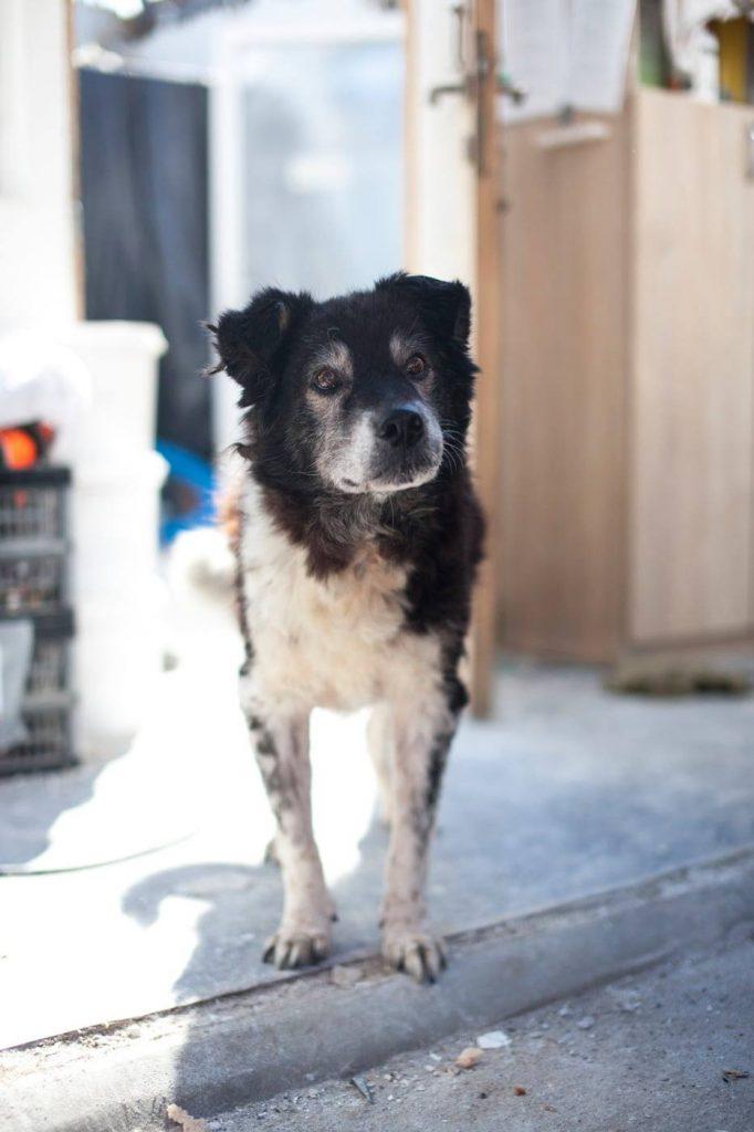 Seniorhund Darios im rumänischen Tierheim